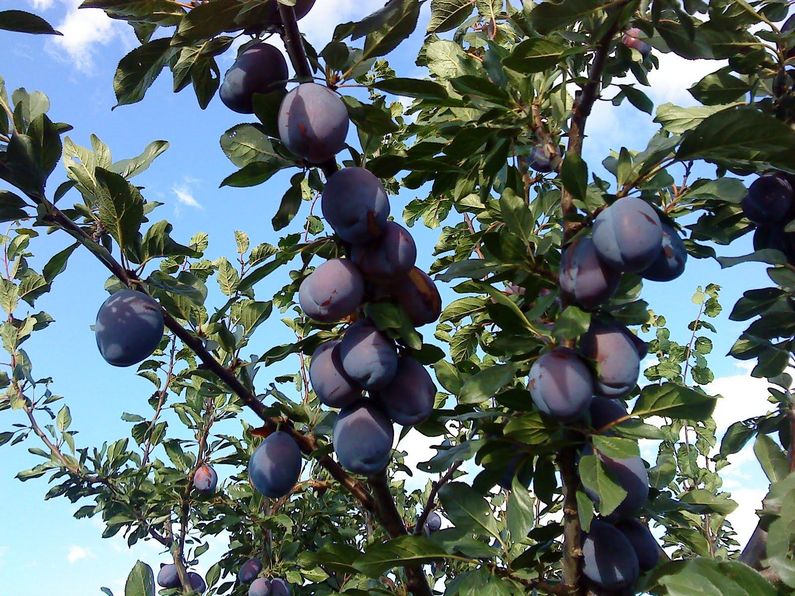 Stifanuts Chile Prunes 1