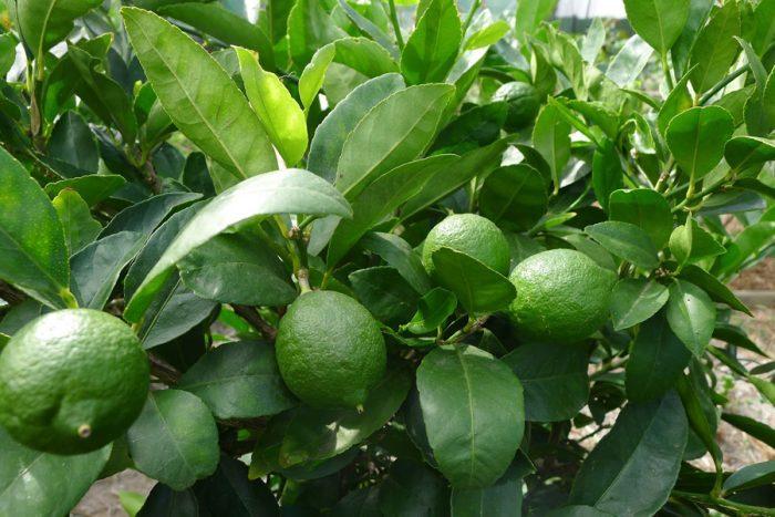 Stifanuts Mexico Lime 1