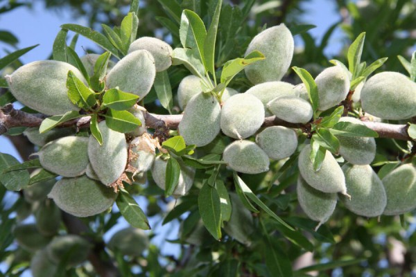 Stifanuts Chile Almonds 1