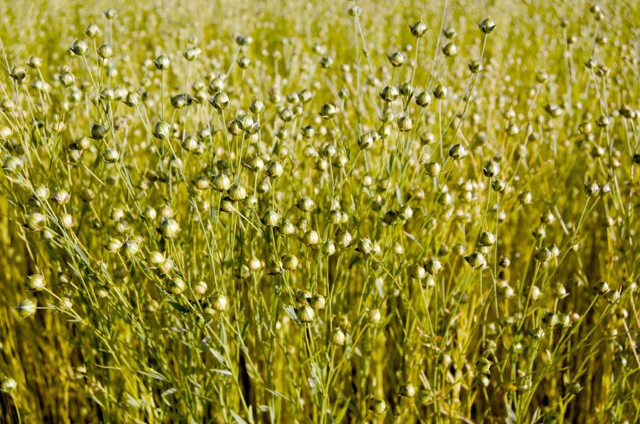 Stifanuts Ukraine Flax Seeds 1