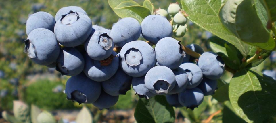Stifanuts Chile Blueberries