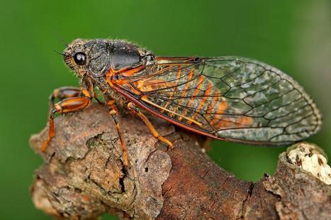 Cicada credit to S Krejcik .jpg