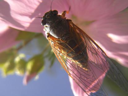 New Forest Cicada on flower.JPG