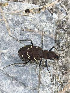 Female Heath Tiger Beetle.jpg