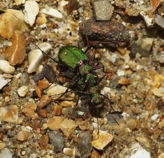 Green Tiger Beetles mating - copyright Emma Lawlor.jpg