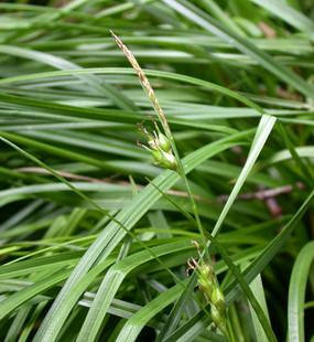 Carex depauperata2.jpg