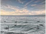 Lake Tahoe Geese