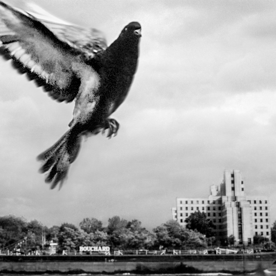 Fly-by Pigeon