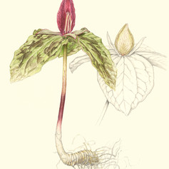 Toadshade Trillium, Trillium sessile