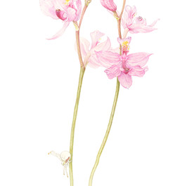 Grass-pink Orchid