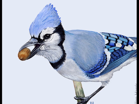 How the Blue Jay Plants an Ecosystem