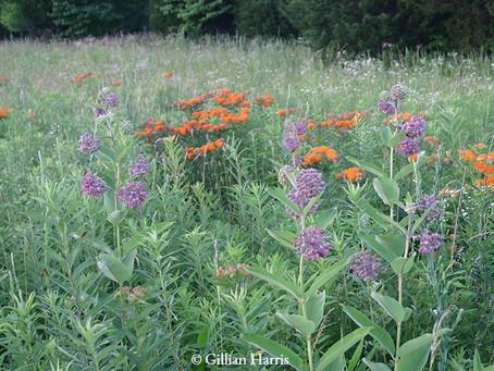 Milkweeds for Monarchs and Other Pollinators