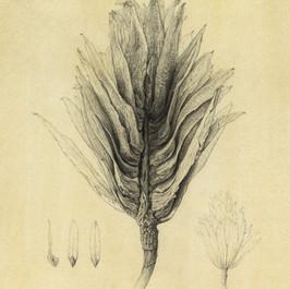 Tuliptree Seeds