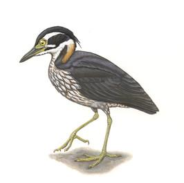 White-eared Night Heron