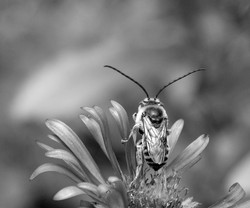 Long-horned Bee, New England Aster