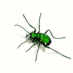six-spotted green tiger beetle2.jpg