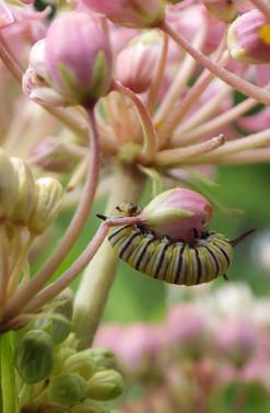 """""""Milkweeds for Monarchs and Other Pollinators"""""""