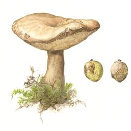 Brown Bolete Mushroom, Bitternut Hickory Nuts