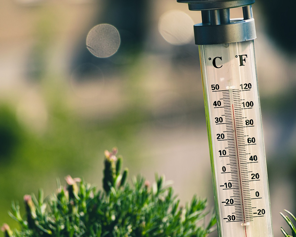 A thermometer is outside by a shrub and shows temperatures over 100 degrees