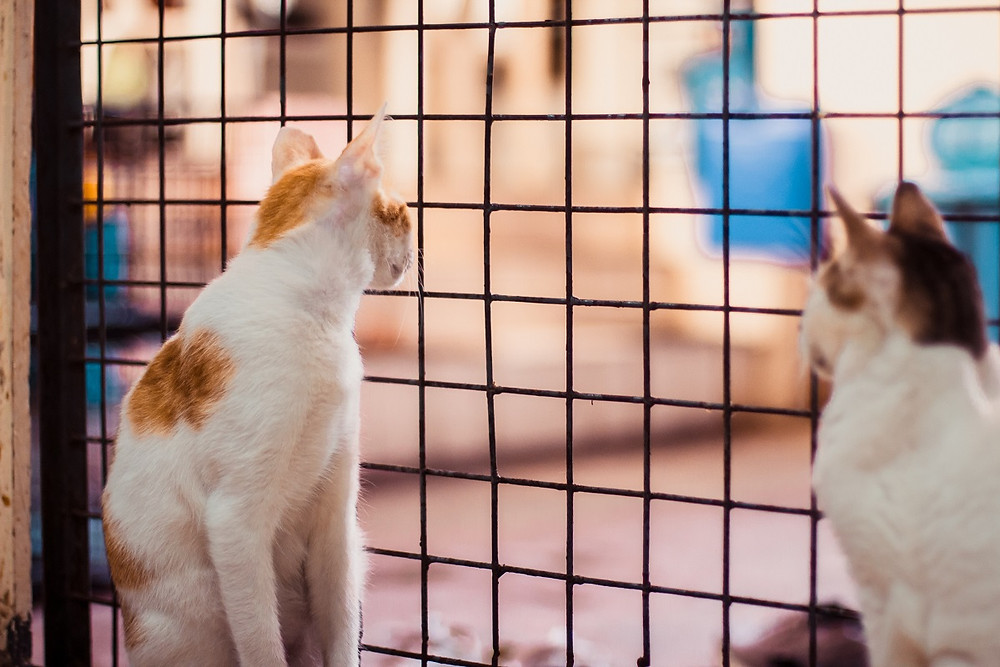 Two cats look out at a living room from inside a crate