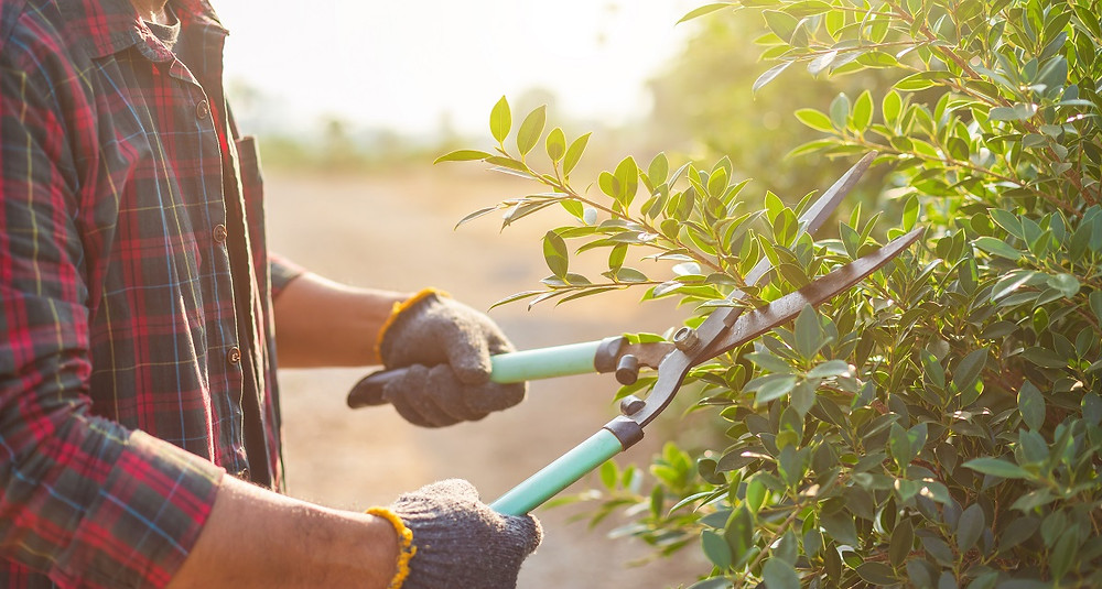 A homeowner wearing gloves and a flannel shirt cuts his shrubs with a hedge trimmer.