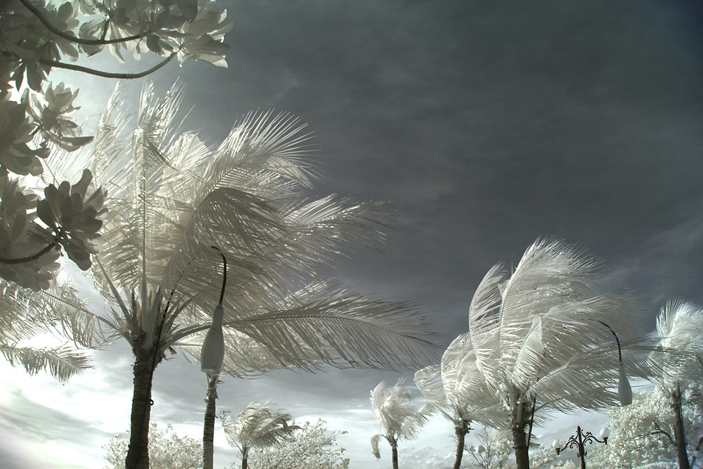 Palm trees flutter in the wind against a dark sky