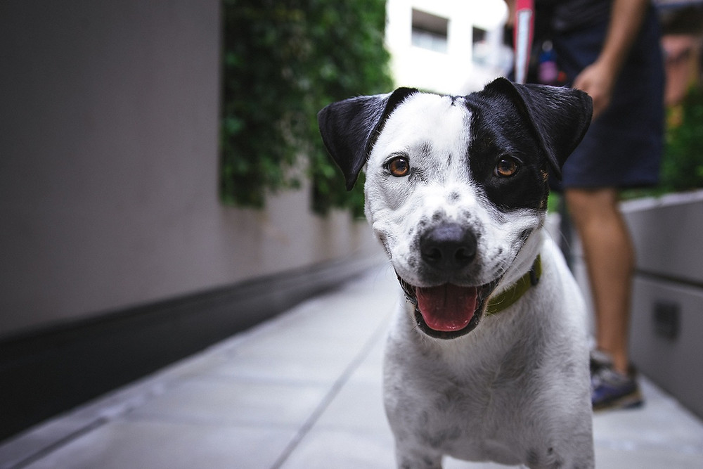 A black and white dog smiles with his owner standing behind him