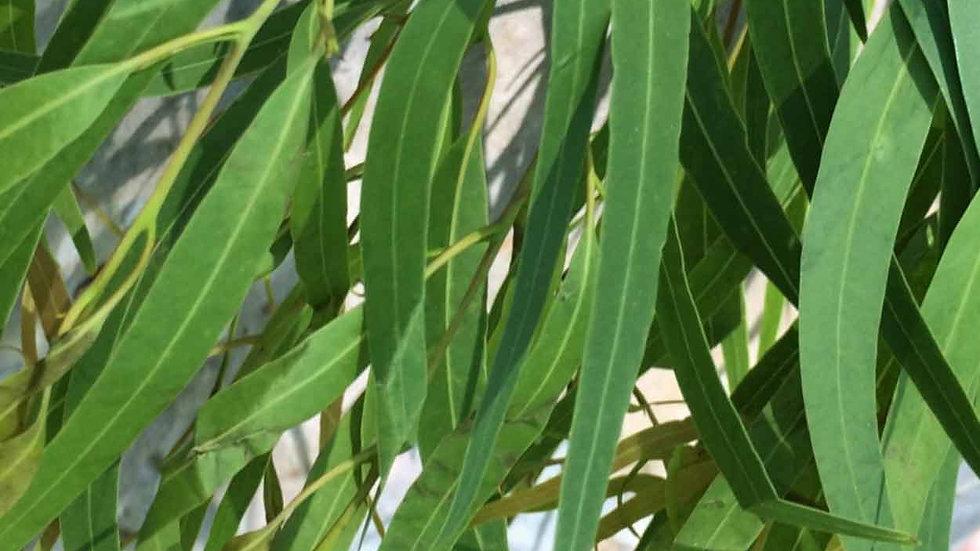 Eucalyptus - Whipped Body Butter