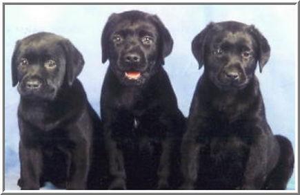 Litter Page - Black Pups.JPG