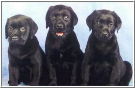Litter Page - Black Pups.JPG