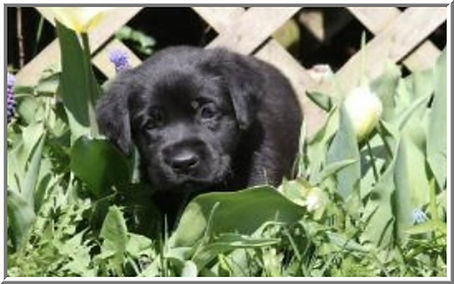 Home Black Pup.jpg