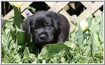 Home Black Pup.jpg