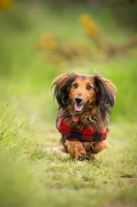 Sir George - Miniture Dachshund Dog