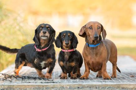 Rosie, Jake and Greta - Minature Dachshund Dogs