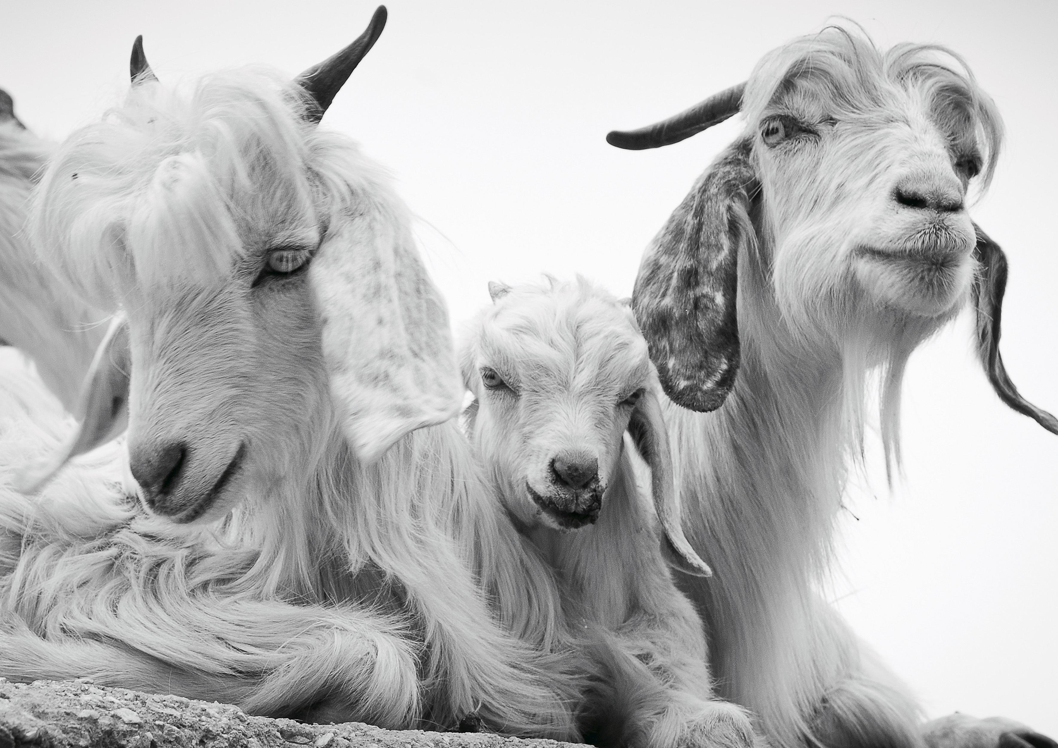 Cute Pashmina goats in Bhagsunag, Dharam
