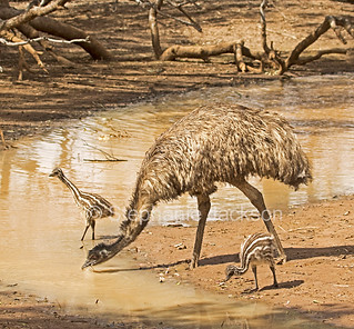 Old man emu with his chicks at Australian outback river - IMG 0763