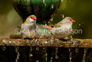 Red-browed finches, Neochmia temporalis at bird bath - IMG 3315