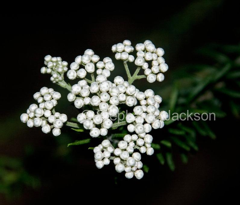Ozothamnus_diosmifolius_Riceflowers_IMG_
