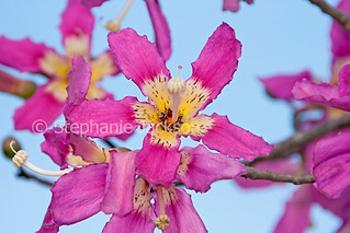 Flowers of Chorisia speciosa / Ceiba, Silk Floss tree - IMG 4044