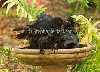 White-winged choughs in garden bird bath - IMG 3463