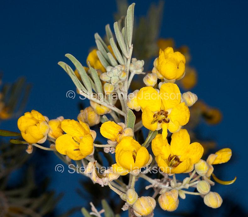 Senna_artemisioides_flowers_MG_9944.jpg