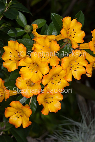 Yellow flowers of tropical Vireya Rhododendron 'Hot Topic' - IMG 4368