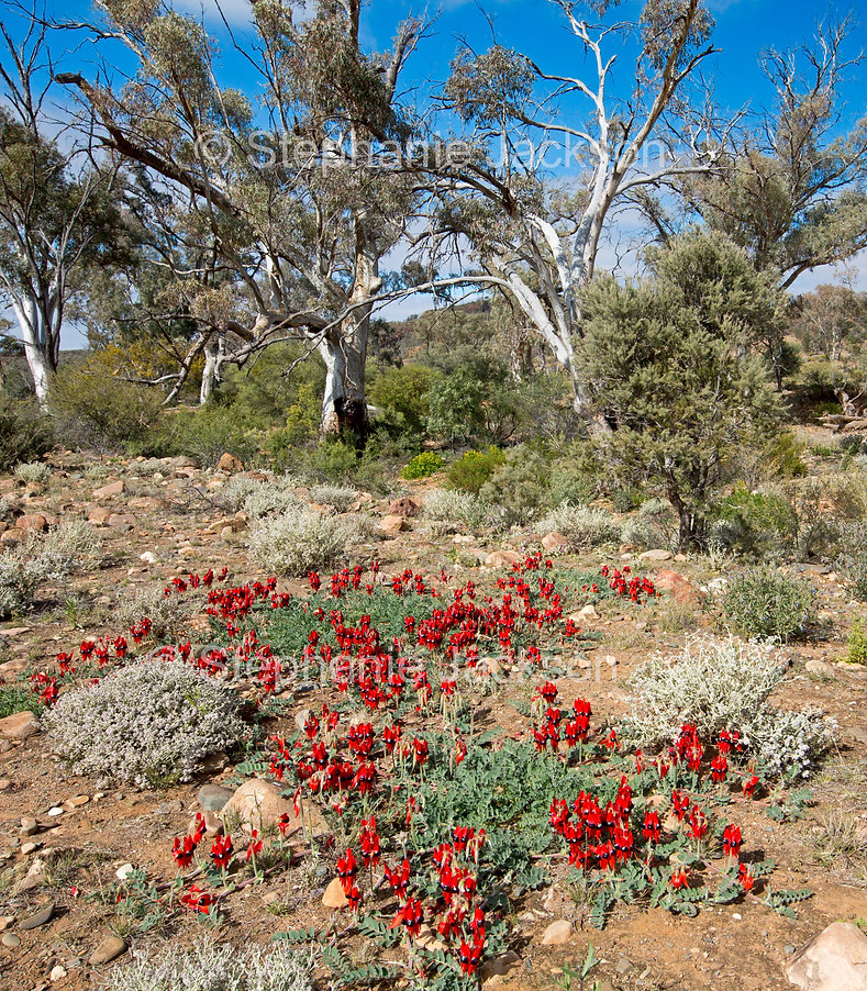 outback_landscape_with_sturts_desert_pea