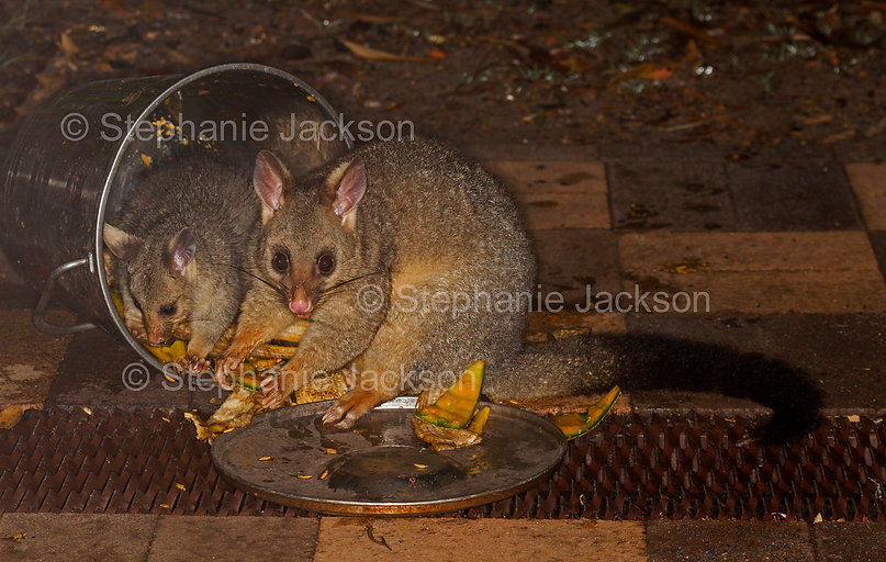 possums_feeding_in_bucket_MG_0005.jpg