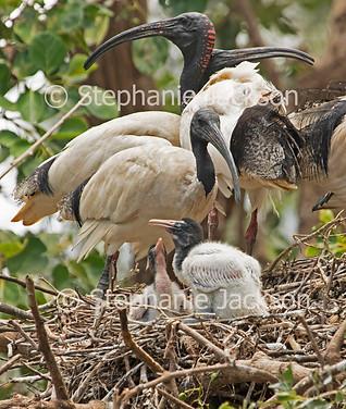 Australian ibis, Threskiornis moluccus, with chicks on nest - IMG 2317