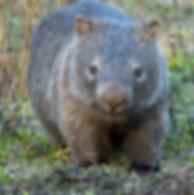 wombat_MG_1180.jpg