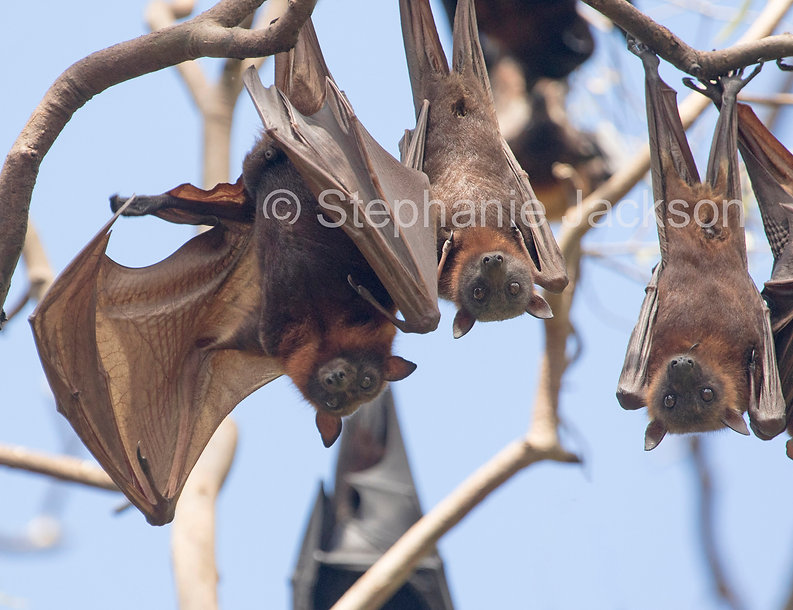 Fruit_bats_flying_foxes_MG_1655.jpg
