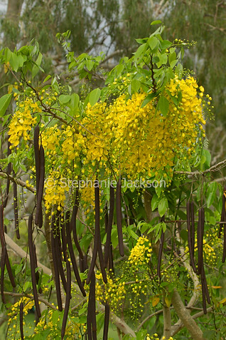 Cassia fistula flowers and seed pods - IMG 6384