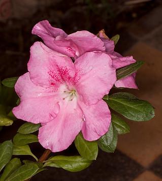 Pink flowers of Azalea indica 'Pink Dream' - IMG 9050