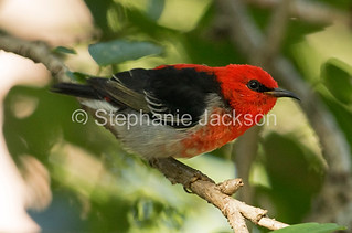 Scarlet Honeyeater in an Australian garden - IMG 3715A